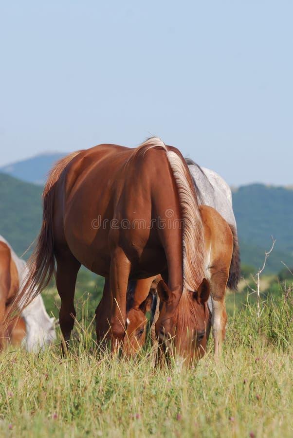 Download Arabian herd on pasture stock image. Image of mother - 10664367