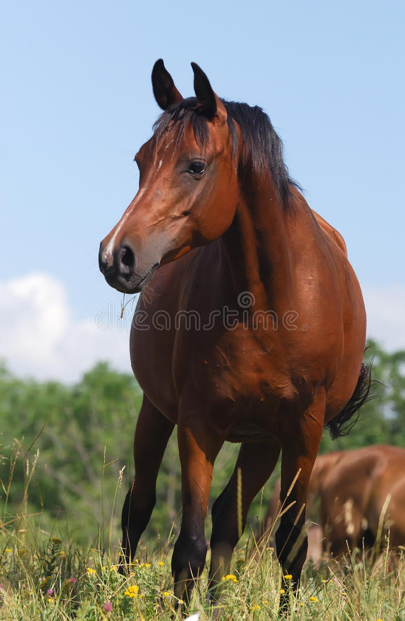 Download Arabian horse stock photo. Image of rural, arabian, chestnut - 10665906