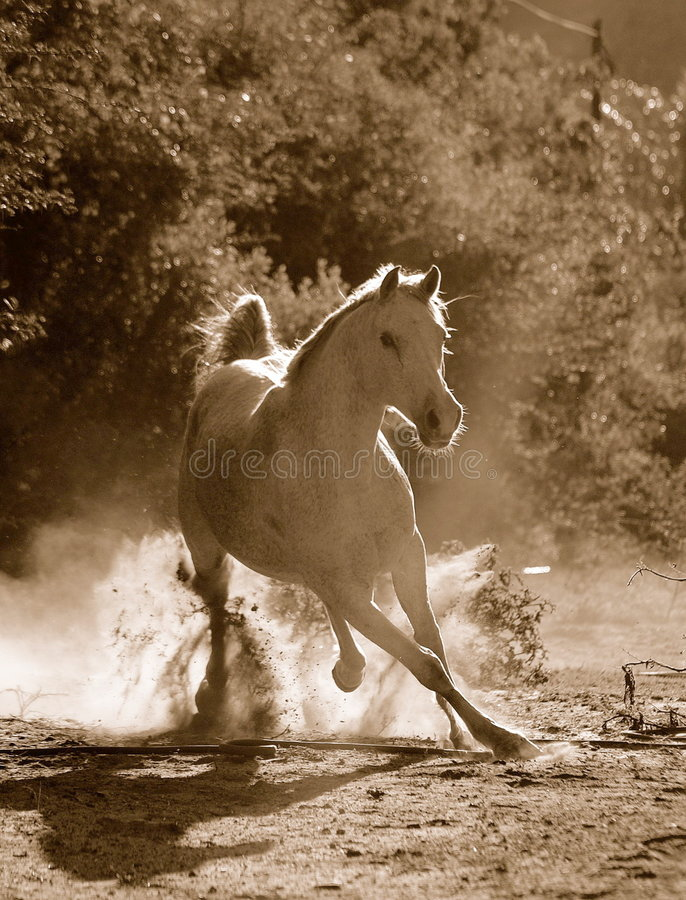 Arabian horse. A white Arabian active horse photographed in sepia galloping towards the photographer in dusty background royalty free stock images