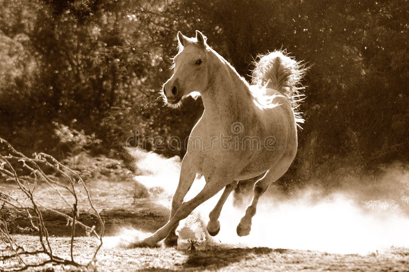 Arabian horse. A white Arabian active horse is galloping towards the photographer in dust and opposite light with sunny background