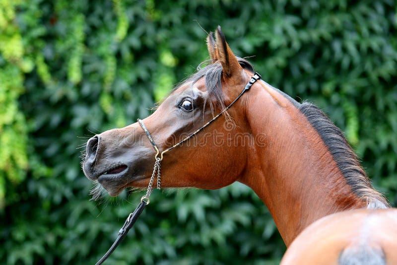 Arabian horse royalty free stock photography