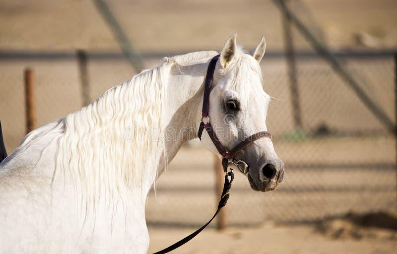 Download Arabian Horse stock image. Image of precious, green, grassland - 13525355