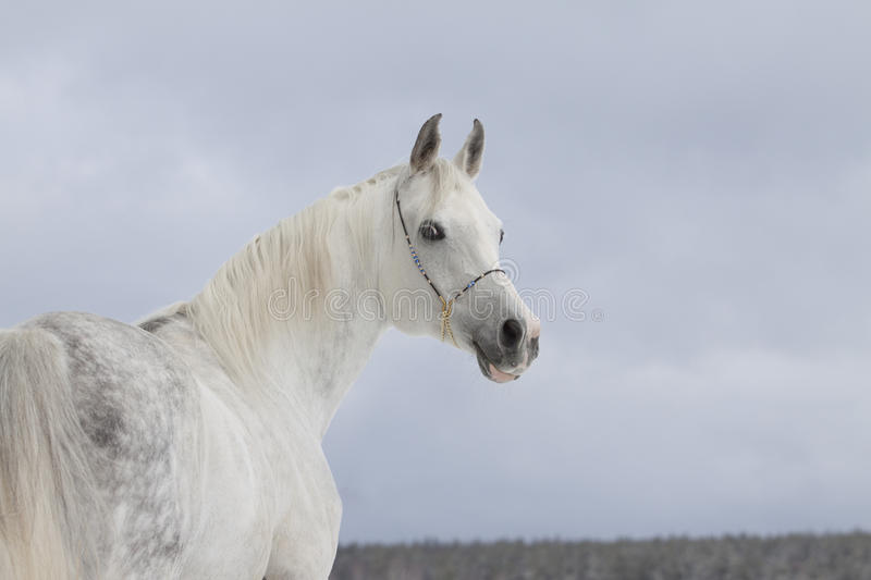 Download Arabian Horse Royalty Free Stock Images - Image: 18658629