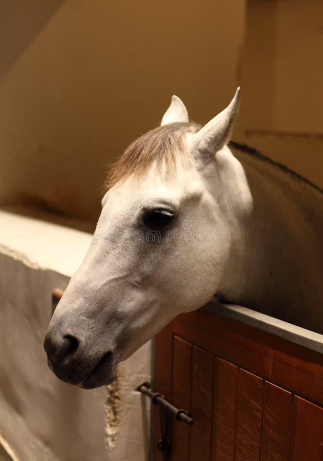 Download Arabian horse stock photo. Image of mammal, barn, arab - 23762350