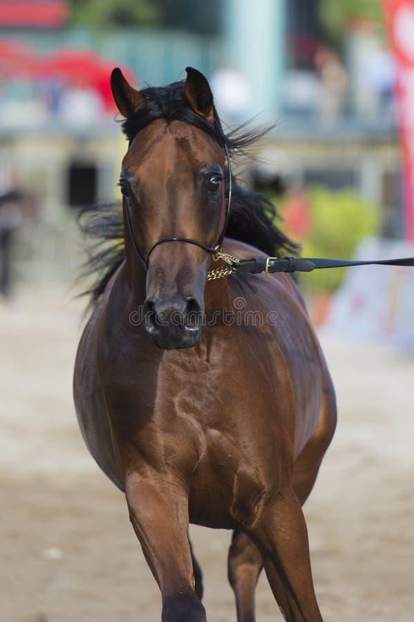 Arabian Horse Stock Image