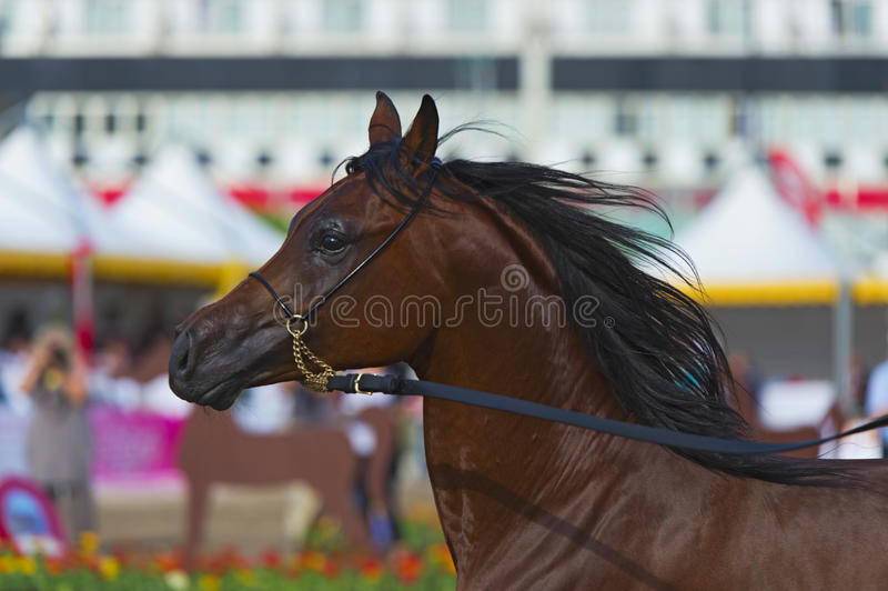 Download Arabian horse stock photo. Image of mane, field, curious - 25263140
