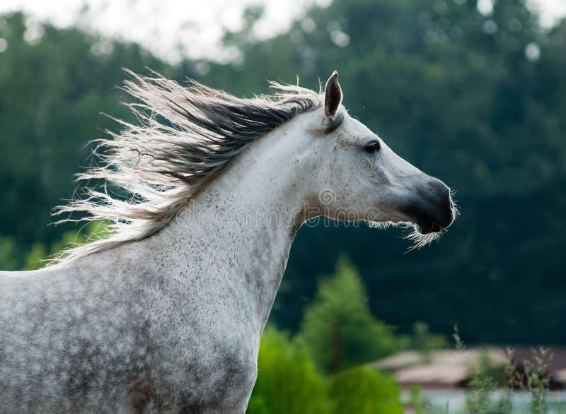 Download Arabian horse stock image. Image of farm, mountain, breed - 25455479