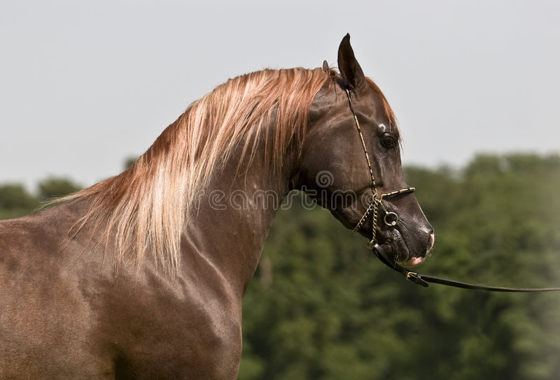 Download Arabian horse stock photo. Image of tame, side, show, lead - 3474670