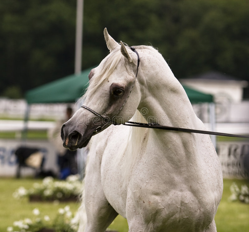 Download Arabian horse stock photo. Image of bridled, animal, tamed - 3533780