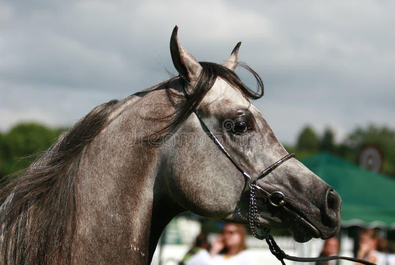 Download Arabian Horse Stock Image - Image: 3662011