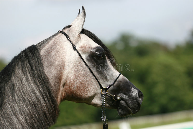 Download Arabian horse stock photo. Image of filly, mammal, show - 3662310