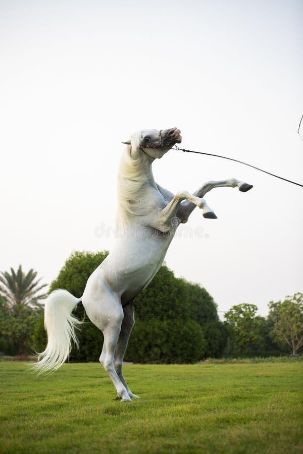 Arabian horse in dubai stock images