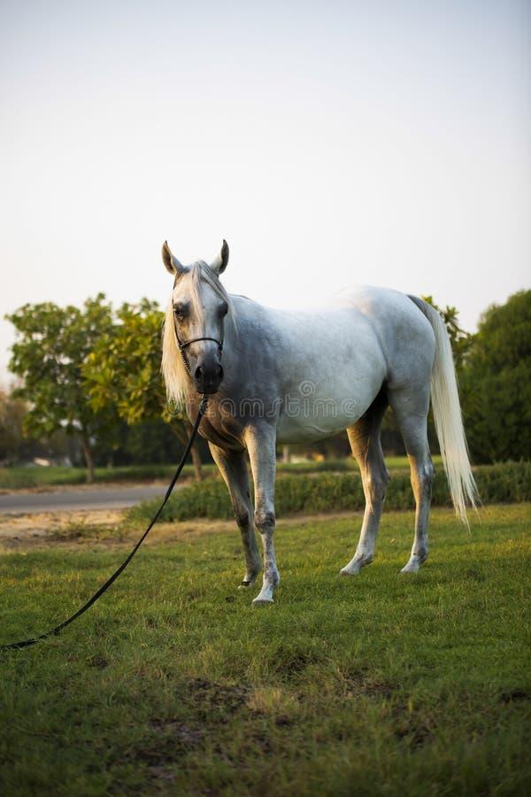 Arabian horse in dubai with beautiful eyes stock images