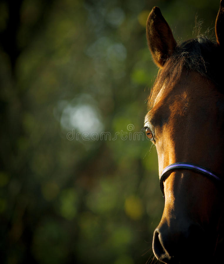 Arabian horse eye. Close up with a nature background space royalty free stock photography