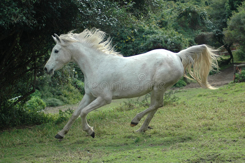 Arabian horse galloping. An active Arabian wild white horse is running and galloping on the paddock of the farm stock image