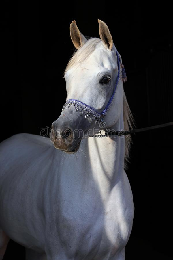 Arabian race horse in stable royalty free stock image