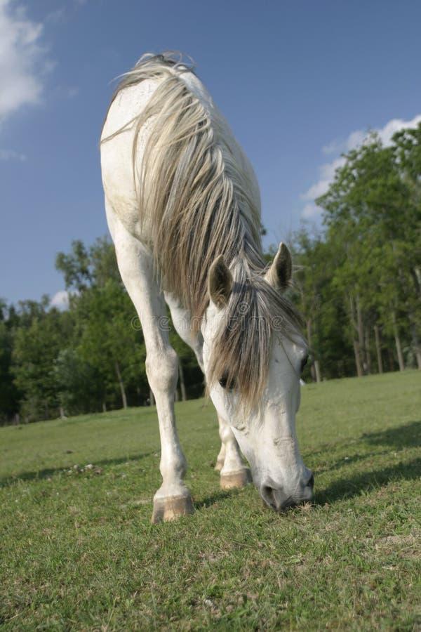 Arabian horse grazing in a field