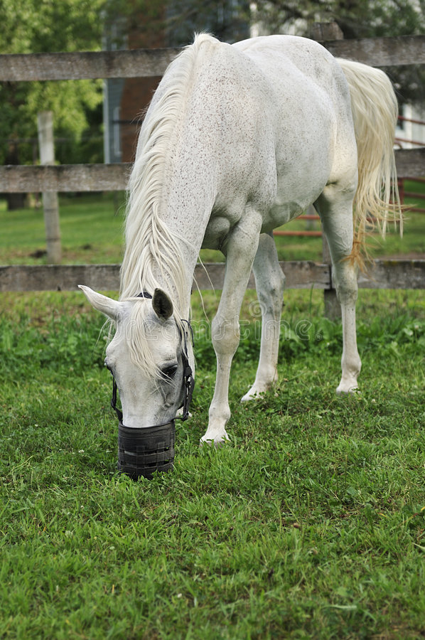 Arabian Horse with Grazing Muzzle stock images
