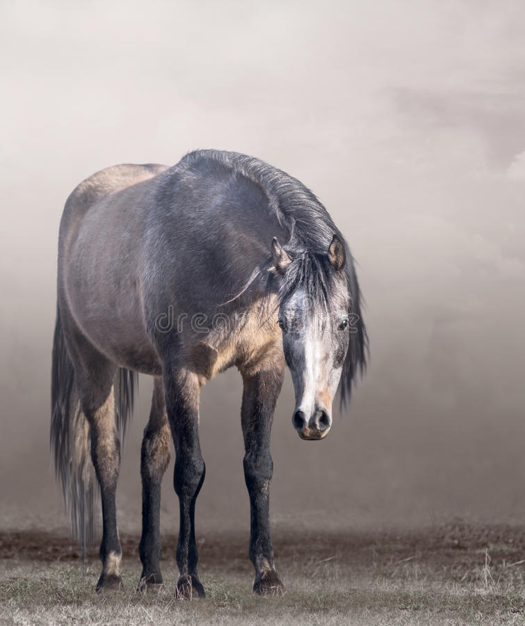 Arabian horse in mist in cloudy weather stock image