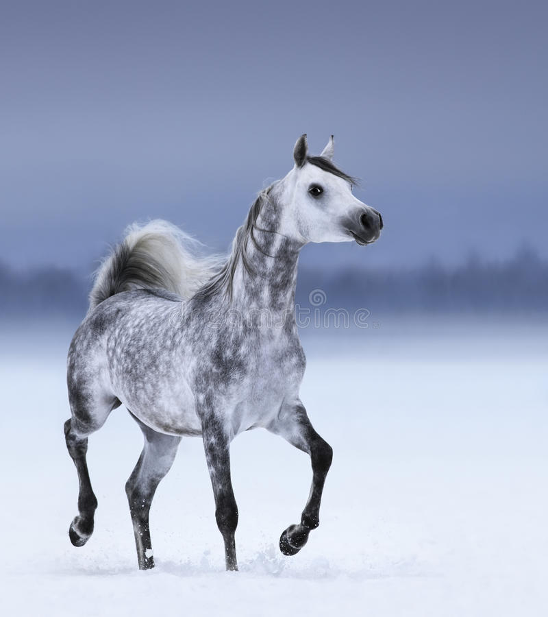 Arabian horse in motion on snow field stock image