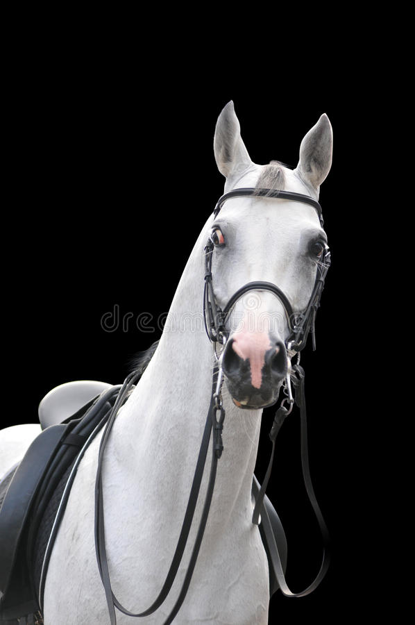 Download Arabian horse portrait stock image. Image of headshot - 11362731