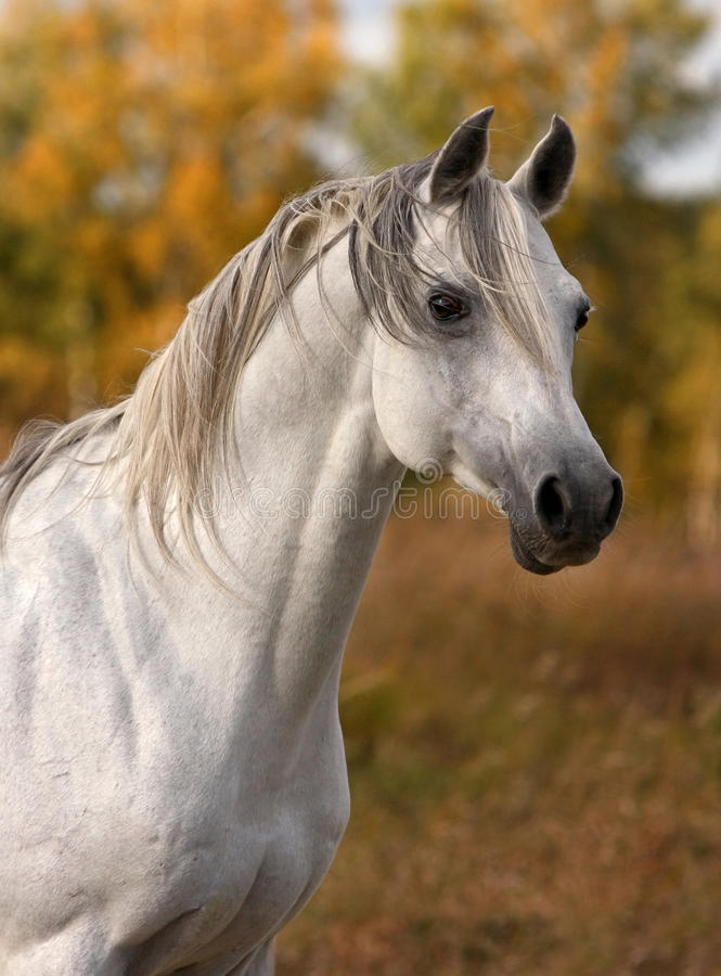 Arabian horse portrait. White arabian horse portrait in autumn stock photos