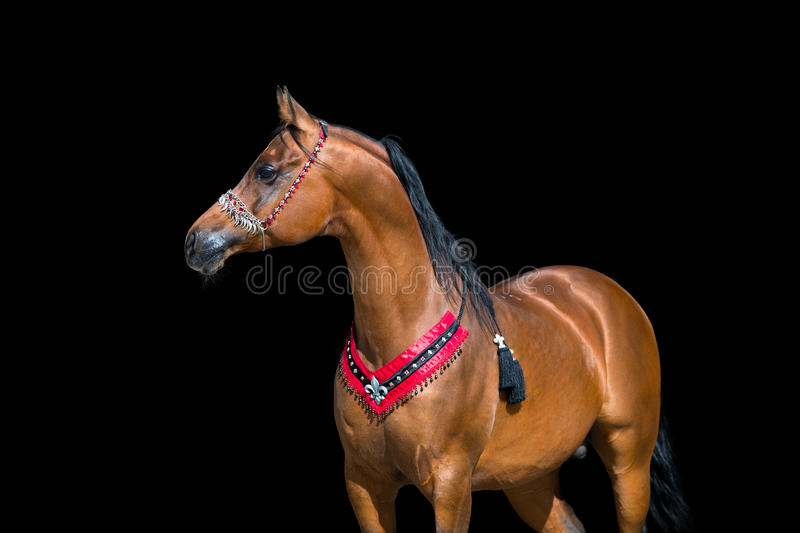 Arabian horse portrait on black background. Arabian bay horse portrait on black background with show halter royalty free stock image