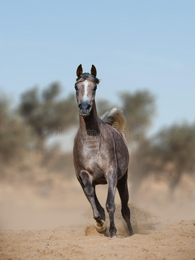 Arabian horse in prairies. Young gray purebred arabian horse running frontview royalty free stock images