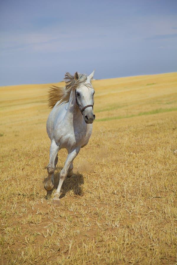 Arabian horse running stock photo