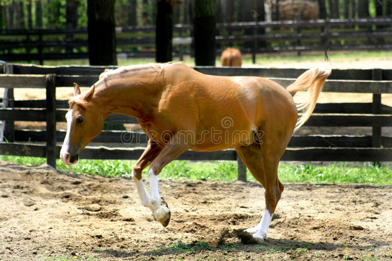 Arabian Horse Running Royalty Free Stock Photography