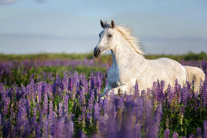 Arabian horse running free on a flower meadow. royalty free stock image