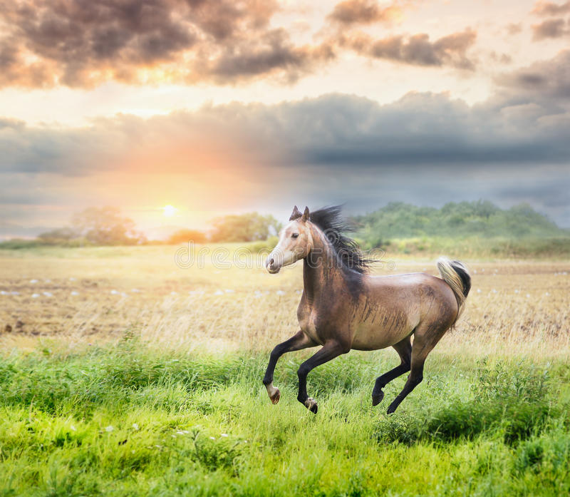 Arabian horse running on sunny meadow on sunset stock photography