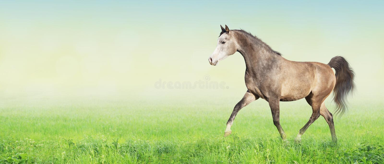 Arabian horse running trot on meadow,banner royalty free stock images