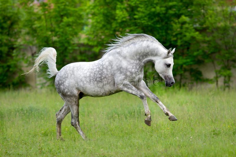 Arabian horse runs gallop on green background. In summer royalty free stock images