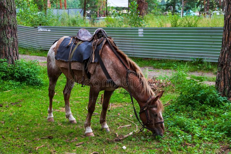 A arabian horse with a saddle on his back bowed his head and eats green grass in the forest. A brown arabian horse with a saddle on his back bowed his head and royalty free stock images