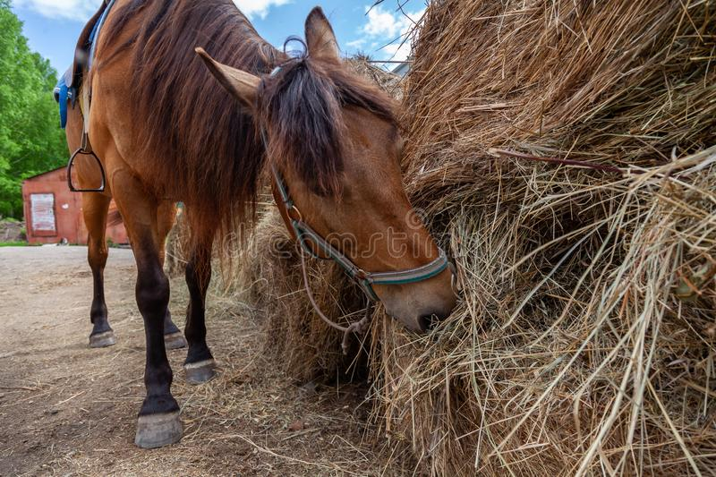 A arabian horse with a saddle on his back bowed his head and eats hay from a dry stack. A brown arabian horse with a saddle on his back bowed his head and eats stock images