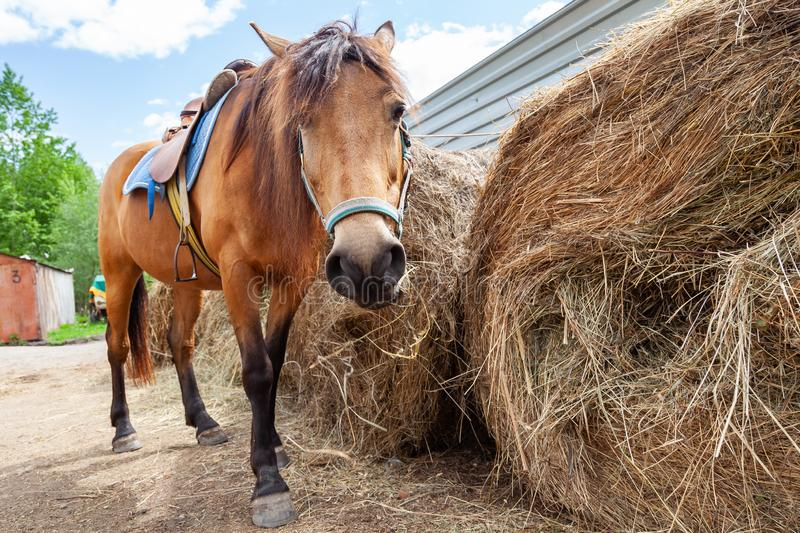 A arabian horse with a saddle on his back bowed his head and eats hay from a dry stack. A brown arabian horse with a saddle on his back bowed his head and eats royalty free stock photo
