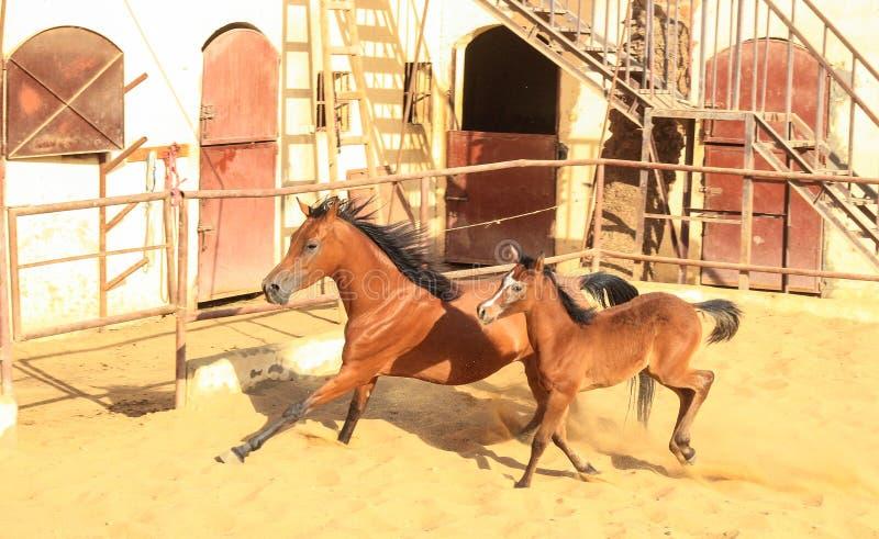Arabian Horse in a sandy ranch stock photos