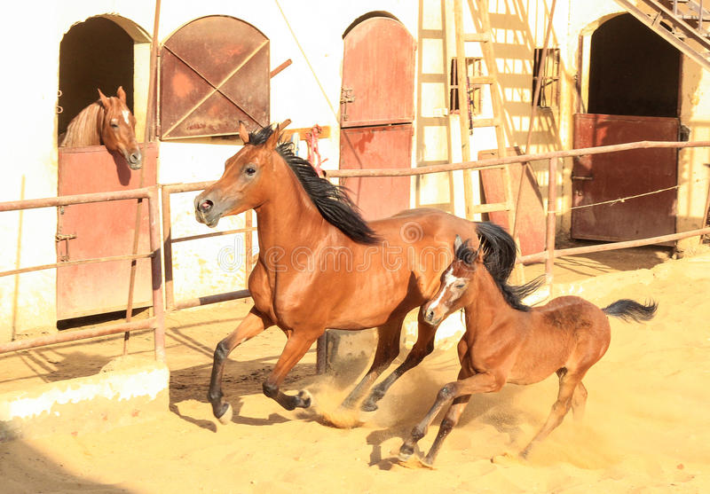 Arabian Horse in a sandy ranch stock images