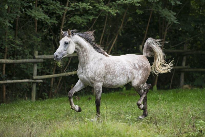 Arabian Horse trotting stock images