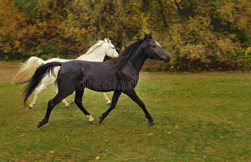 Arabian Horses Run In Autumn Colored Field Stock Images