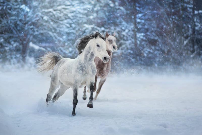 Arabian horses run. Grey arabian horses run gallop in snow stock photography