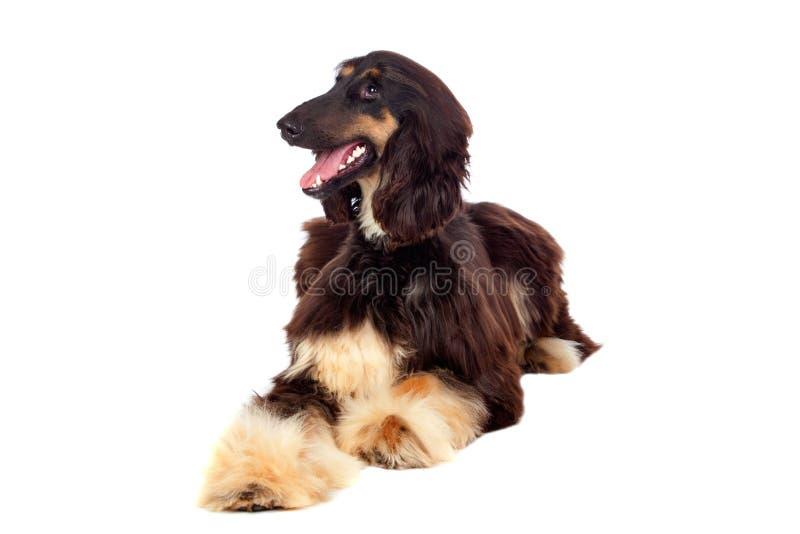 Arabian hound dog. Isolated on white background royalty free stock images