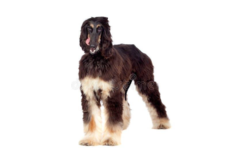 Download Arabian hound dog stock photo. Image of happy, mammal - 20971914