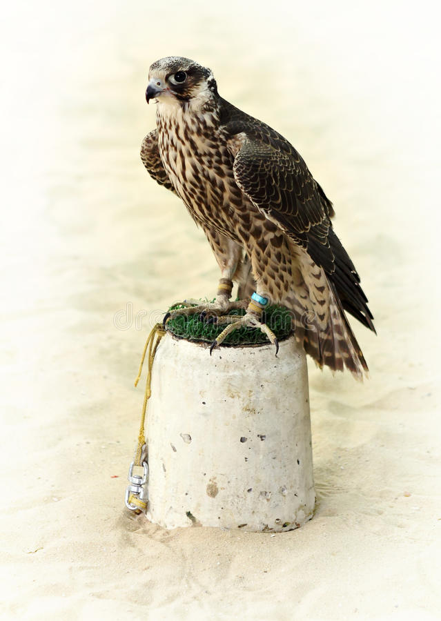 Arabian hunting falcon royalty free stock images