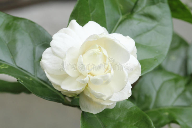 Arabian jasmine stock photography