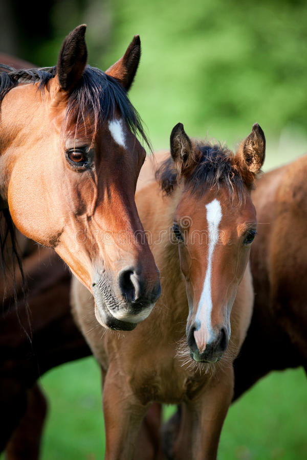 Arabian mare and foal in meadow stock photography