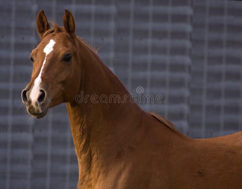 Arabian orgulhoso fotografia de stock royalty free