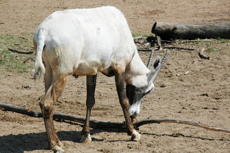 Arabian Oryx. This is a rare species of an antelope. The scientific name is Oryx Leucoryx royalty free stock image