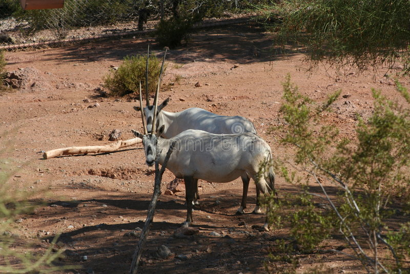 Arabian Oryx stock image